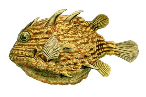 Striped Cowfish (Aracana aurita) From plate 42 of Ernst Haeckel's Kunstformen der Natur (1904).