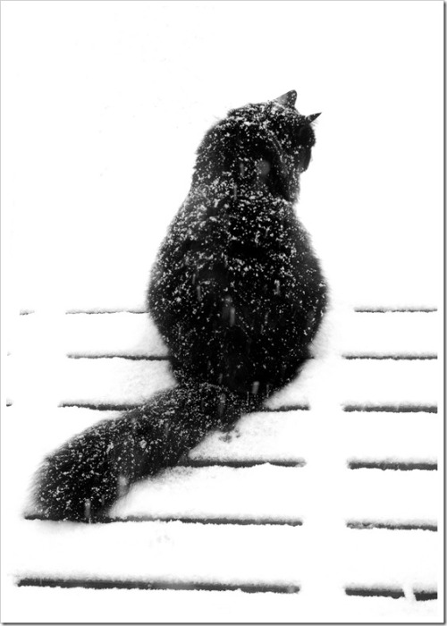Cold Fluffay Kitty!  OD/The Cat That Loves Snow © 2008 Steve Diehl, Antwerp