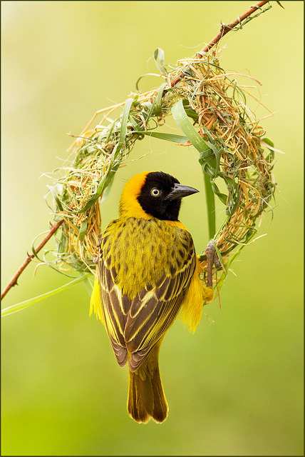 BLACK-MASKED WEAVER taken in Zaire, Africa purpleraven:  The Wedding Ring (by Hennie van Heerden)