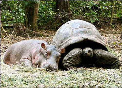 "Owen and Mzee ; Inspiring Friendship  Owen and Mzee are a hippopotamus and a tortoise, respectively, that became the subject of much media attention after forming a unique bond of friendship. A baby hippopotamus, Owen, was orphaned in the Indian Ocean off the coast of Kenya near Malindi during the 2004 Indian Ocean earthquakeon December 26, 2004. The baby hippo, weighing 600 pounds (270 kg), was stranded on a large rock not far from shore. He was finally rescued during a day long effort by nearly 1,000 villagers using shark nets. Owen's namesake is a French student volunteer with the KWS named Owen Saubion, who finally tackled the hippo during the rescue. Owen was taken to Haller Park, a restored limestone quarry near Mombasa owned by Lafarge Eco Systems' East African firm, Bamburi Cement. He was released into a large wooded penned-in area that included a pond and a co-inhabitant − a 700-pound (320 kg), 130-year-oldAldabran tortoise named Mzee (Swahili for ""old man""). Owen immediately bonded to Mzee and would crouch behind him. However, Mzee initially resisted Owen's overtures. Over time, the old tortoise came to accept the young hippo, who began to mimic his adoptive parent. Gradually, Mzee taught Owen, who was a nursing calf, what to eat and where to sleep. In the first year, the two became inseparable companions who ate, slept, swam, and played together. Owen often played with the old tortoise by jumping on Mzee's back, scratching the old tortoise on the neck, and in many other ways. They surprised scientists with the strength of what appeared to be a genuine bond, as well as with the unique vocal communication that developed between them. Owen and Mzee became worldwide celebrities as a result of their astonishing behavior, captured on film and video primarily by BBC photographer Peter Greste. Two picture books, Owen and Mzee: The true story of a remarkable friendship and Owen & Mzee: Language Of Friendship, both published by Scholastic Press, and authored by Isabella Hatkoff, Craig Hatkoff, and Paula Kahumbu were released in February 2006 and January 2007. Owen and Mzee were also the subject of children's musician Marla Lewis's song 'Will You Be My Mom?', released on her 2007 album 'I Love To Talk To Plants', as well as Judy Feeney's song 'Owen and Mzee,' released on her 2007 album 'The Ants' Dance.' As of March 2007, Mzee has been removed from the enclosure. A female hippopotamus named Cleo has been added to provide companionship for Owen. Due to Cleo's rough behavior with the other tortoises, a decision was made to remove the tortoises. This has resulted in Owen and Mzee living apart, but their friendship, which lasted for over two years, continues to inspire people from all over the world. Owen seems to be adapting to his new companion and it is possible that Owen and Cleo will have offspring when he reaches maturity. source : http://en.wikipedia.org/wiki/Owen_and_Mzee"