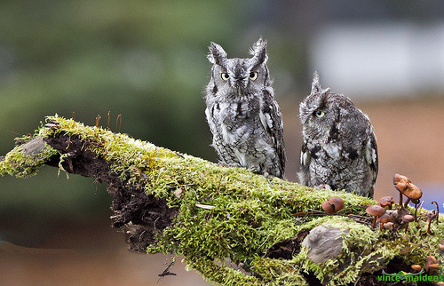 Screech #Owls on moss with a side of mushrooms.