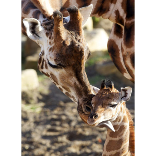 allcreatures:  Maeve the giraffe nuzzles her female calf as she makes her frst public appearance at Dublin Zoo. She was born on November 4 but spent the first few weeks of her life indoors to stop her fragile legs slipping in the snow and ice in the sub-zero temperatures. The as-yet unnamed calf stands at just under 2m (6ft 6in) and weighs 40kg (88lb). Picture: PA (via Pictures of the day: 10 December 2010 - Telegraph)