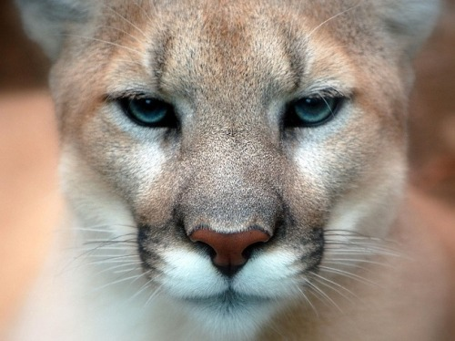 COUGAR also known as puma, mountain lion, mountain cat, catamount or panther