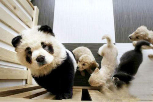 thegivingtree:  fourthhorcrux:  Panda Chow Chow Dog.  OMG!  CAN I HAVE IT?