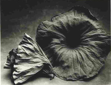 Sheila Rock Two Lotus 								Silver Gelatin print