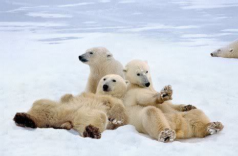 I should be a polar bear, but it's impossible…