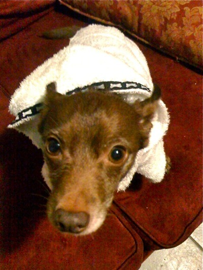 "Sage sent us this photo of Poncho, a rescued chihuahua-dachshund vegetarian, in his dressing gown. Poncho here had a ""health scare last week when he was running a really high temperature; one infected tooth pulled later, he is back to his happy self and enjoying a week of soft foods (pureed yams and tofu)."" We're so happy to hear you're well, little fellow!"