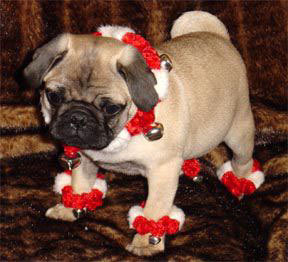Christmas puglet is looking festive! (via castlesintheskies)