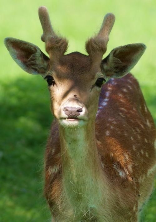 ungulatesforever:  Young Fallow Deer as photographed by Ald-on-a