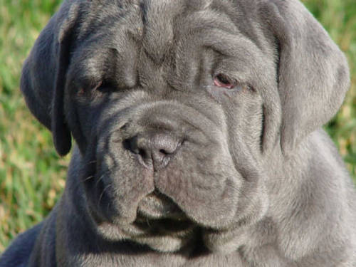 7 week old Neapolitan Mastiff