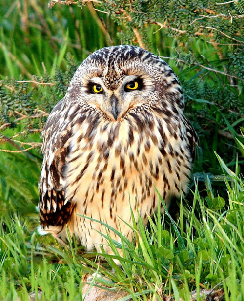 llbwwb:  Short Eared Owl by Rosa Gamboias
