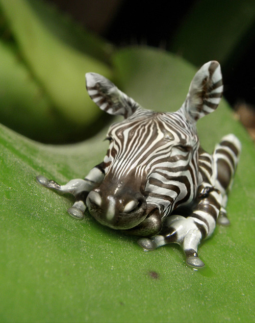 """Zebra Frog"" by Jan Oliehoek"