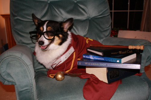 thingsonmycorgi:  I hear chicks dig Harry Potter…  i was totally just thinking yesterday that there should be a thingsonmycorgi tumblr. and then WHAMMO, this lands in my subsmissions. see? i told you corgis have mind reading power. adorbables!!