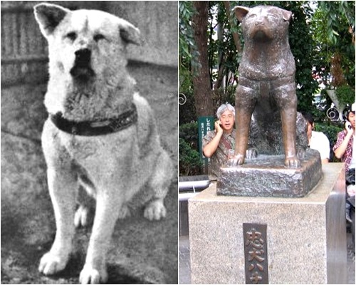 agape-caesar:  crunch-:  Hachiko: A Dog's Story  Hachiko was brought to Tokyo in 1924 by his owner, a college professor named Hidesamuro Ueno. Each day, when Ueno left for work, Hachiko would stand by the door to watch him go. When the professor came home at 4 o'clock, Hachiko would go to the Shibuya Station to meet him.  Though this simple act alone shows a tremendous amount of loyalty, that's not the end of it: The following year, Ueno died of a stroke while at the university. Hachiko didn't realize that he was gone, and so the dog returned to the train station every single day to await his master. He became such a familiar presence there, in fact, that the station master set out food for the dog and gave him a bed in the station. Even so, Hachiko never shifted loyalties –every day at 4 o'clock, he hopefully waited by the tracks as the train pulled in, searching for his best friend's face among the people getting off.  Hachiko's love for his master impressed many people who passed through the station, including one of Ueno's former students, who became fascinated by the Akita breed after seeing Hachiko. He discovered that there were only 30 Akitas living in Japan, and began to write articles about Hachiko and his remarkable breed, turning the world's most loyal dog into a household name, and creating a resurgence in popularity for the Akita.  Hachiko died in 1935, after 10 long years of waiting for his master. But the dog would not be forgotten –a year before his death, Shibuya Station installed a bronze statue of the aging dog, to honor its mascot. Though the statue was melted down during World War II, a new version was created in 1948 by the son of the original artist. Go to the station now, and you'll be able to see the bronze statue of Hachiko – still waiting, as ever, for his master to come home.