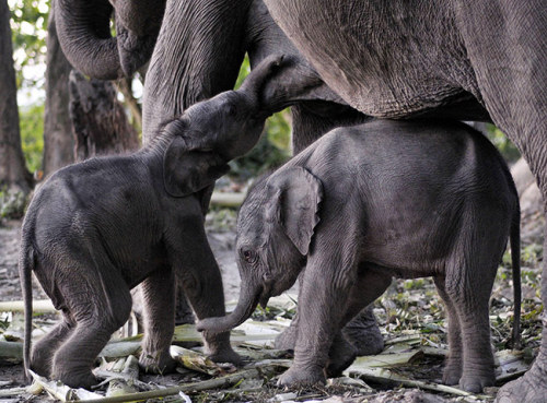 allcreatures:  One-day old female elephant twins feed from their mother Alka at the Orang national park in the Darrang district of Assam, India. Alka, an Asiatic elephant, made history when she gave birth to twins in the sanctuary on 15 December. Alka had mated with a wild elephant last year in the park.