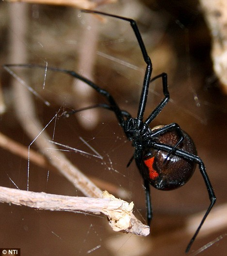 BLACK WIDOW SPIDER (L. hesperus)  -  ©NTI for the Daily Mail Not uncommon in our neighborhood, but still surprised to find THREE of them decided to make a nest under my dish drainer this week - EEEEEEEK! Sadly, the click through is to an article from 2008, reporting their expansion into the U.K. Black Widow spiders inhabit most of the warmer regions of the world to a  latitude of about 45 degrees N. and S.  They occur throughout all four  deserts of the American Southwest. The female black widow spider is the most venomous spider in  North America Her bite seldom causes death as it injects a very small amount of venom   Reports indicate human mortality at well less than  1% from black widow spider bites.  [A Black Widow bite did kill one of my cats several years ago] Anyone bitten by a black widow spider  should seek medical care Cold weather and drought may drive these spiders into buildings —bingo! Adult male Black Widows wander in search of females but do not feed or bite. Females may occasionally kill and eat a male after mating but this is more the exception than the rule.