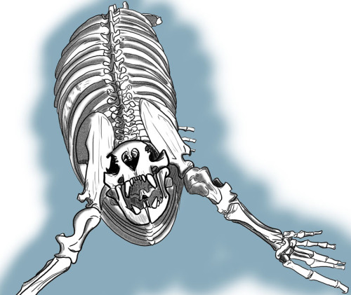 Digital ink of a pencil drawing of a Steller Sea Lion skeleton I made at Alaska Sea Life Center on my birthday, as a sort of birthday present to myself. I sat for an hour and just drew the skeleton hanging from the ceiling. (I don't know why, but I find I need to do this, draw an entire skeleton, every rib, vertebrae, every tooth exactly as it is.)