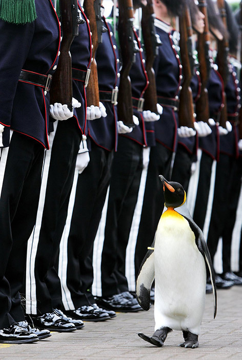 (via diphda:SeaWayBLOG: Nils Olav, a penguin to protect the King of Norway) Ich, heute morgen beim Abnehmen der Parade.