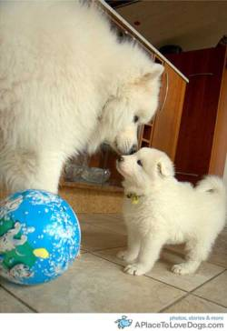 Sísú Samoyed puppy getting a kiss from dad