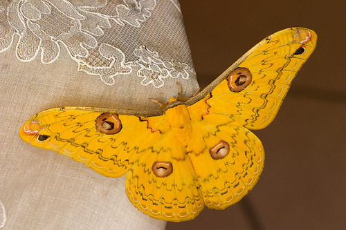 GOLDEN EMPEROR MOTH (Loepa katinka)  -  ©Darren5907 Loepa katinka, belonging to family Saturniidae. The Saturniids are  considered to be one of the largest moths in the moth world. These moths  have no mouth parts in adult stages, the adults live a very short life  span to mate and reproduce. The adults survive solely on the food  reserves stored during the caterpillar stage Fact Source: http://www.treknature.com/gallery/Asia/photo82117.htm