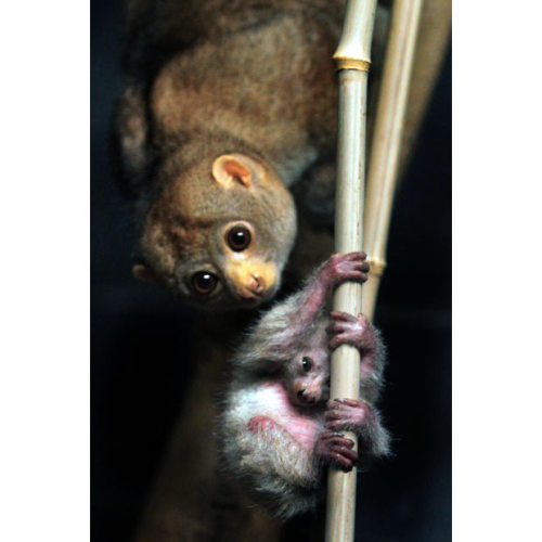 "POTTO  (Perodicticus potto)also known as Bosman's Potto ©zooborns.com The name Potto (Perodicticus potto) possibly comes from the African word ""pata"", which means tailless ape. The Potto is also known as Bosman's Potto, after its supposed discoverer, and in some English-speaking parts of Africa it is called a Softly-softly.  The index finger is vestigial They have opposable thumbs with  which they grasp branches firmly.  At the second toes of the hind legs  they have the fine claw typical for strepsirrhines.  Three of the  vertebrae in the Potto's neck have sharp points and nearly pierce the  skin; these are used as defensive weapons.  Both males and females have  large scent glands under the tail (in females, the swelling created by  the glands is known as a pseudo-scrotum), which they use to mark their  territories and to reinforce pair bonds.  Pottos have a distinct odor  that some observers have likened to curry. allcreatures:  Lucy the potto checks on her new baby that was born on December 8, in the Nocturnal House at The Cincinnati Zoo & Botanical Garden."