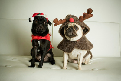 45 Pugs That Didn't Get What They Wanted For Christmas: Pics, Videos, Links, News