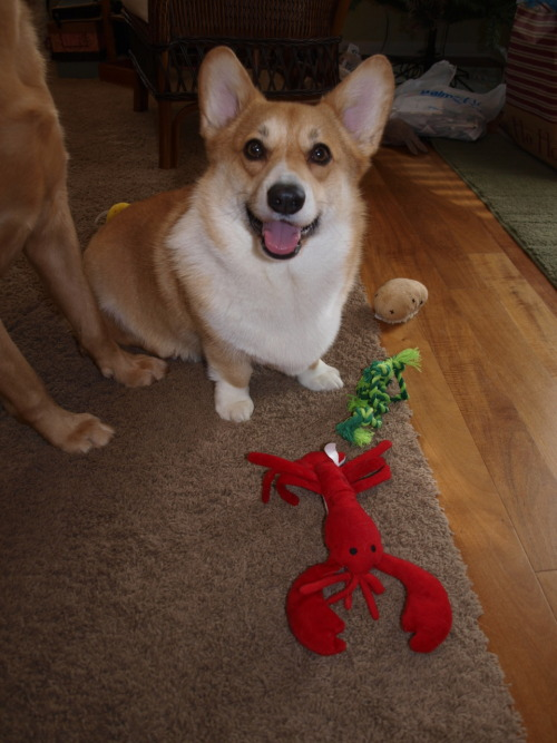 Cricket and his new lobster want to wish everyone a very merry corgi Christmas! He loves his gift and wants to keep all of it to himself, except the Frisbee.  OOOOH! I am so happy he likes his lobster!! i can't wait to give my poopster his own lobster unit!