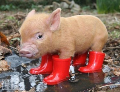 sugar-cat:  piggy in wellies :)