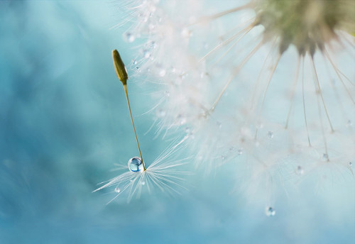 Dandy dew (by Mandy Disher)
