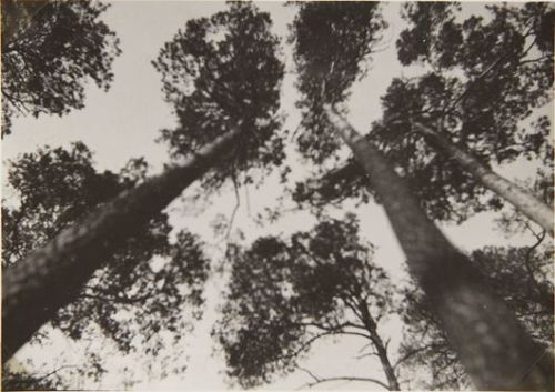 Trees from below,1930s by Iwao Yamawaki
