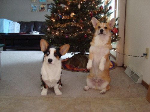 sitting pretty! mycorgi:  Corgi pic of the day: Name: Henry, Luke, Owner: Jane, Location: OshKosh, WI