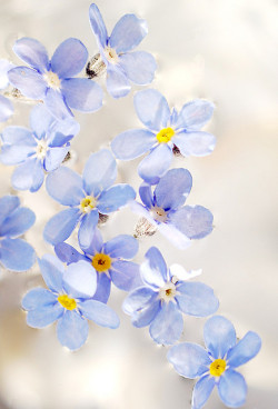 prettylittleflower:  some forget me not flowers in water (by Joanna Sanderson-Mann)