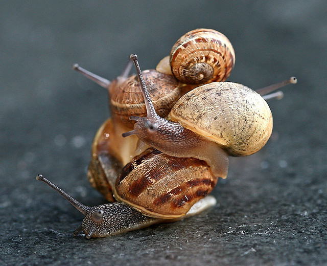 Sans commentaire ;) theanimalblog:  Helix aspersa (garden snail) (source)