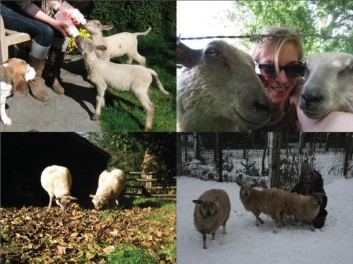 ◄   Highlight of 2010 #1 ► My sheeplets. Some mother sheep got sick at the farm this year, so we had to take care of four lambs ourselves. They're like pets now, they recognize you and they'll lay down at your feet. They're the sweetest thing that happened to me this year. You might want to click the link.  (Spring, Summer, Fall: Bright Eyes & Oscar, Winter: Bright Eyes, Oscar & Beck)