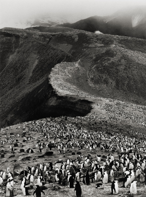 rhea137:  Chinstrap Penguins, Bailey Head, Deception Island Sebastião Salgado; Genesis series, 2005
