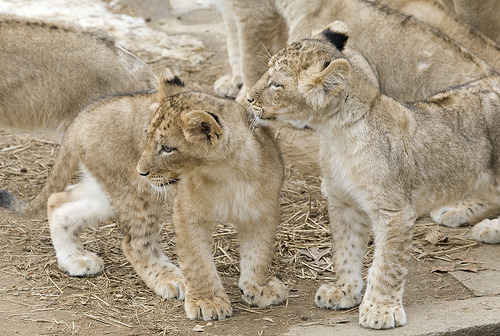 "National Zoo Debuts Lion Cub Litter  They recently received their names, including one named ""John,"" after John Berry, former Zoo director and current director of the U.S. Office of Personnel Management. During the next few weeks, visitors can only view them for an hour at midday, says the Zoo's Lindsay Mayer, as they get accustomed to the snow and the Nikon-wielding crowds.  Photo from The Smithsonian's National Zoo"