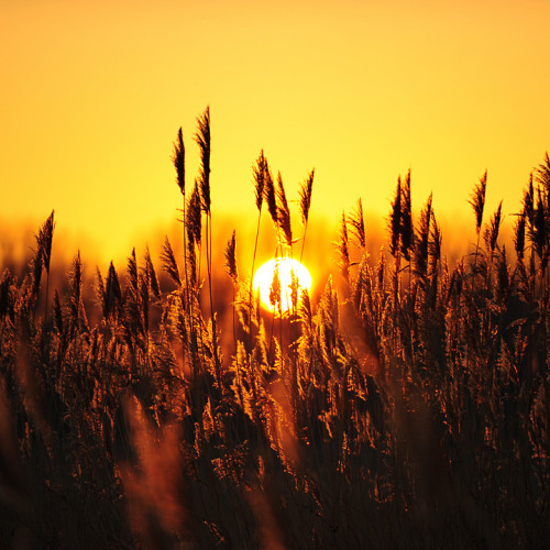 Golden Grains by Edgar Barany