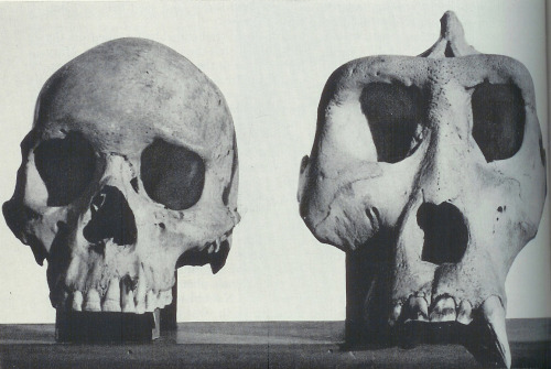A human skull in comparison to a gorilla's.
