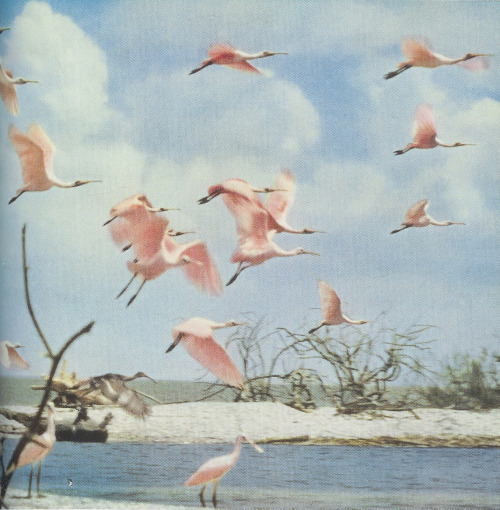 Spoonbills in Florida, 1954
