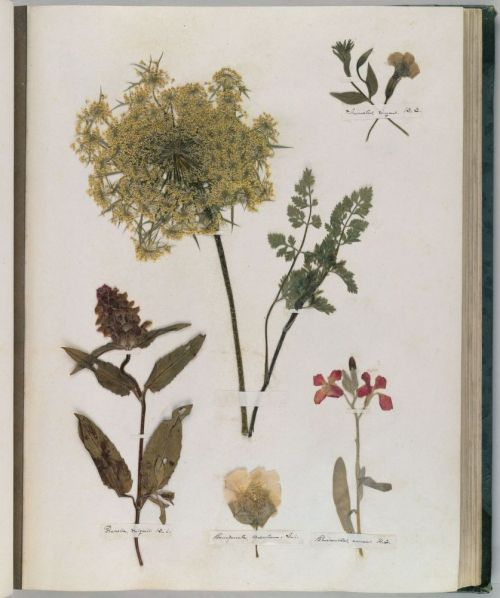 labiaus:  Dickinson, Emily, 1830-1886. Herbarium, circa 1839-1846. 1 volume (66 pages) in green cloth case; 37 cm. MS Am 1118.11, Houghton Library © President and Fellows of Harvard College.