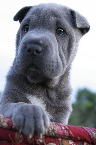I am going to get a Shar Pei one day. Def.
