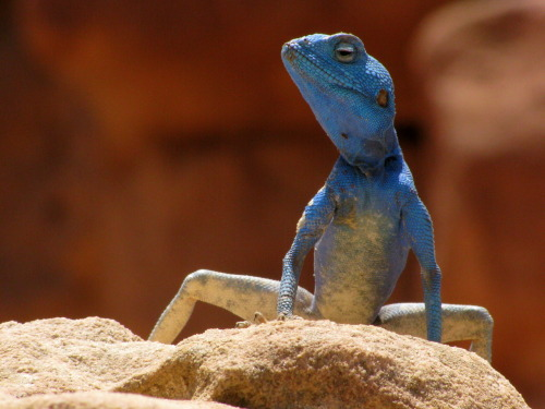 SINAI AGAMID LIZARD (Agama sinaita)  -  ©Garysspace — Great shot Gary!  The Sinai Agama is an agamid lizard. It is common in deserts around the Red sea.  The length of the lizard is up to 25 cm, tail up to two thirds of the  total length.  The limbs and tail are long and thin and provide good  climbing and running skills. Unlike other Agama species, the third (middle) toe is the longest instead of the fourth. Agama sinaita is active during daytime and feeds on insects and other arthropods and plants. While in heat, the colour of the male turns to striking blue to attract females. The female adopts brownish-red spots. Fact Source: http://en.wikipedia.org/wiki/Agama_sinaita Other photos you may enjoy: Mwanza Flat-Head Rock Lizard (prettier than its name) Kenyan Rock Agama Sweet Lips —-   garysspace:  By me - Agama sinaita, Petra, Jordan. I was so excited to get this shot that I was shaking.