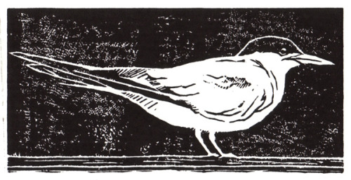 Common Tern, Original Linocut.