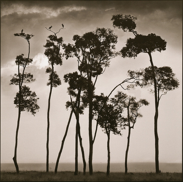 Nick Brandt, Storks in Treetops, Maasai Mara, 2002 (From: arsvitaest: via Photo Tractatus)