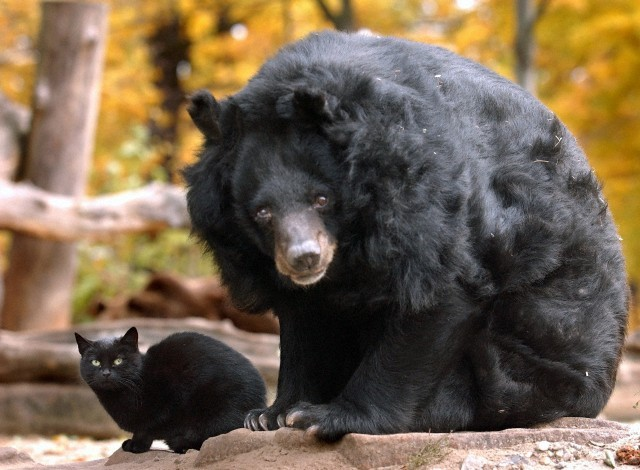 loveforallbears:  Asian Black Bear 'Maeuschen' ('Little mouse') with her companion of many  years, the black cat 'Muschi' at the Zoo in Berlin, Germany. The oldest  of the bears at the Berlin Zoo died on 16 November 2010 at the age of  43.