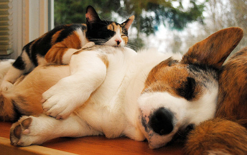 Conapitation defined.  The corgi and the kitty are actually BFFs. The kitty's name is Sophie and she's pwned by Simon the corgi.  mycorgi:  Corgi pic of the day: Name: Simon, Owner: Shepdog, Location: Seattle, WA