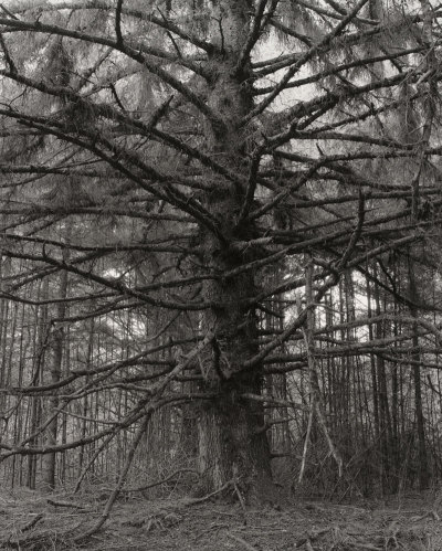 Robert Adams - Sitka spruce, Cape Blanco State Park, Curry County, Oregon'1999–2000via