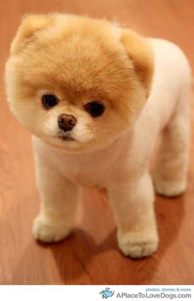 aplacetolovedogs:   cuteoverload This is Boo a Pomeranian, Boo has a facebook page