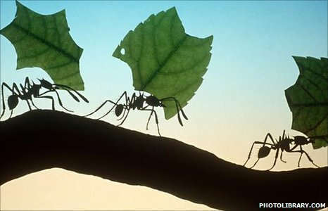 "LEAF CUTTER ANTS allcreatures:  Leaf-cutter ants retire when their teeth wear out  Central American leaf-cutter ants ""retire"" from their cutting role when they grow old, switching to carrying when their jaws blunt with age. Leaf-cutter ants start their lives with razor-like jaws, or mandibles, to cut through the leaves they harvest. But as these ""wear out"", the insects tend to carry the leaves cut by their younger counterparts. The findings suggest that individual ants can extend their useful lifespan as their skills decline. They are reported in the journal Behaviour Ecology and Sociobiology."