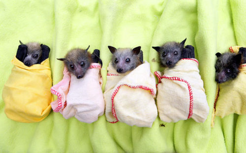 jonwithabullet:  Five of the 130 baby bats rescued from the Queensland floods being cared for at a clinic in Brisbane  Guys.  I know that my (admittedly distasteful) intolerance of goth culture would imply otherwise, but I fucking love bats.